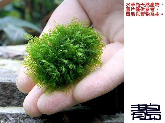 三月缺。。。青島水族。。。天然水草----【陰性】美國鳳尾苔(石片)==1片