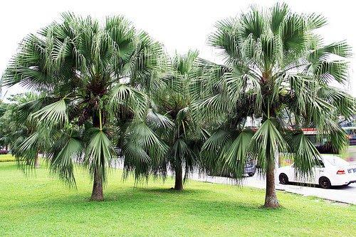 ※ 田尾Q園藝 ※ 蒲葵椰子 峇厘島風 Villa最佳用樹 景觀庭園設計規劃