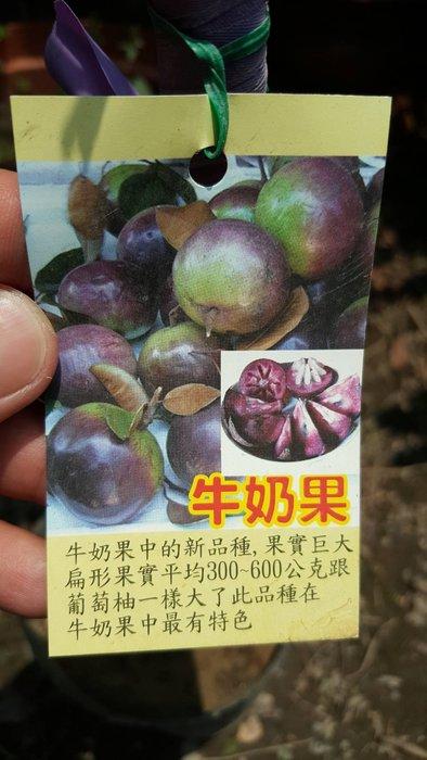 ╭*田尾玫瑰園*╯水果苗(紅皮大果牛奶果)(星蘋果)嫁接苗1尺500元