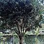 【竹林農莊】七里香 ... 庭園樹 A