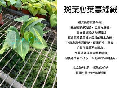 心栽花坊-斑葉心葉蔓綠絨/心葉蔓綠絨/3吋/綠化植物/室內植物/觀葉植物/售價60特價50