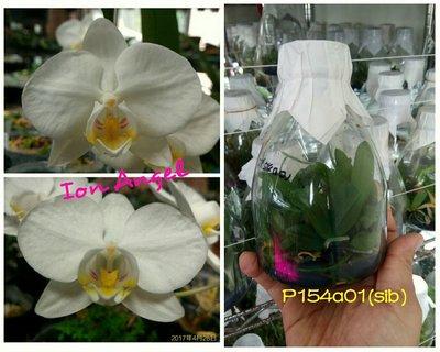 永安蘭園 瓶苗 蝴蝶蘭 P154a01 P.aphrodite x sib(下單請先詢問是否還有?)
