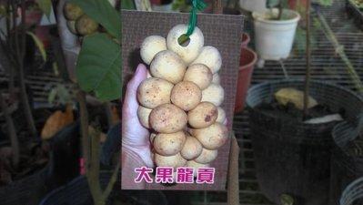 ╭☆東霖園藝☆╮稀有果樹-(大果龍貢)-多汁的果肉,有柚子味道   高壓苗