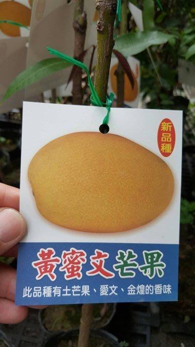 ╭*田尾玫瑰園*╯新品種水果苗-(黃蜜文芒果)高70cm200元
