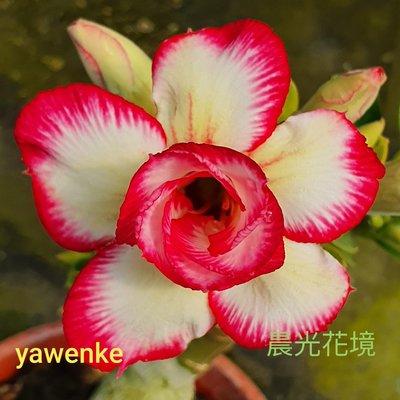 欣采園藝   沙漠玫瑰   富貴花   耐旱植物   重瓣品種~晨光花境