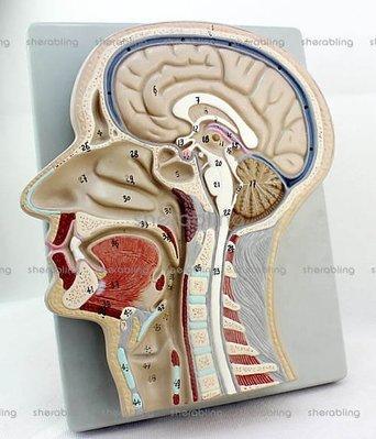 (ME-A147)人體醫用頭部切面模型大腦模型顱骨耳鼻喉解剖鼻咽