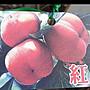水果苗 ** 紅柿 ** 4吋盆高/ 120/ 150公分/ 果...