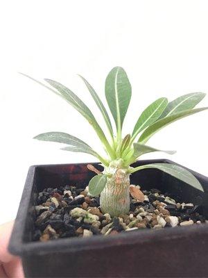 一本尼 Pachypodium eburneum 小苗