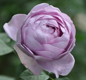 藍色風暴(暗戀心) Shinoburedo。悠遊山城(創始店)5-6吋盆玫瑰~特價180~任選3盆420