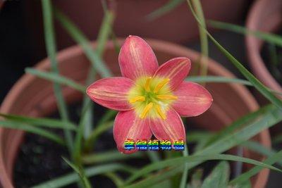 [幸福植物園]風雨蘭 魅惑星炫Zephyranthes Charm Star Dazzle