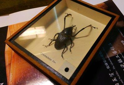 【藏家釋出】 藏家朋友早期的收藏 ◎ 甲殼類昆蟲的標本 ◎ 木盒精裝...製作精美.....