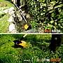 【工具屋】*含稅* WORX 40V (2×20) 鋰電割草機 WG184E 威克士 無繩 33cm 修剪器 庭院割草機