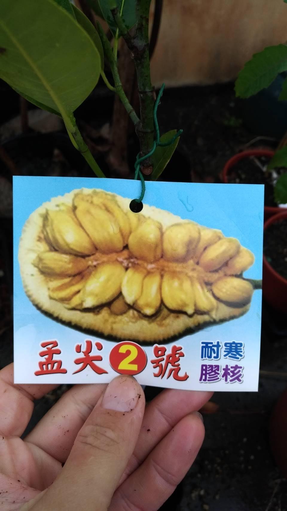 ╭☆東霖園藝☆╮熱帶果樹(孟尖)孟尖2號---稼接苗---- 甜美多汁
