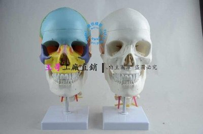 王哥工廠直銷☆廠家直銷 頭顱骨模型 帶頸椎脊神經 成人頭顱模型 人體頭骨模型 彩色醫用