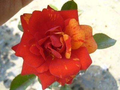╭*田尾玫瑰園*╯香花植物-玫瑰-( 璀璨之星. Hocus Pocus)中輪豐花玫瑰