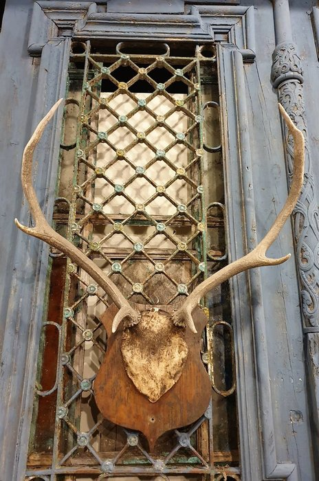 【卡卡頌 歐洲古董】德國老件~  個性  真鹿角  動物  標本  頭骨  掛飾  Deco ss0620