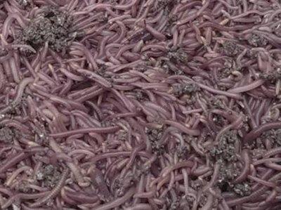 @天然呆@紅蚯蚓5斤+蚯蚓養殖床15kg