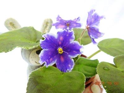 堤緣花語陶-淨化室內空氣植物-非洲紫羅蘭- VaT-Bepa [俄羅斯美花]