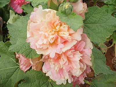 英國花園Alcea rosea Maid of Honour 重瓣蜀葵種子盆栽陽臺花壇易播好養:5入(玫瑰粉色)