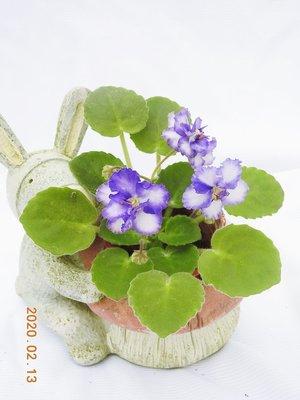 堤緣花語陶-淨化室內空氣植物-非洲紫羅蘭 Rob's Ice Ripples [夢幻逸品]