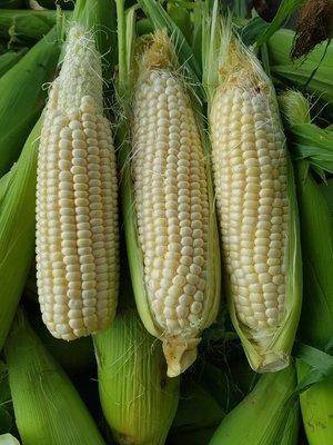 無毒北海道水果玉米 12斤免運費賣420元(尾巴蟲咬或缺米)  #可以生吃品種 #宅經濟 #玉米 #雲林縣慧軒農場