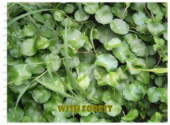 希望森林【水生植物】【銅錢草】【圓幣草】1份20元.....土種,水養均可