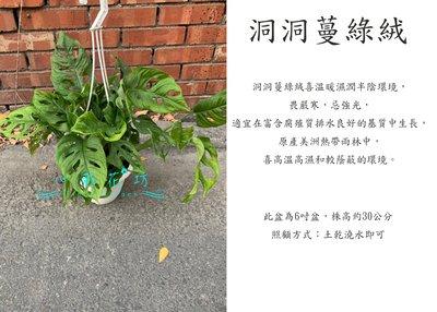 心栽花坊-洞洞蔓綠絨/6吋盆/觀葉植物/室內植物/綠化植物/售價200特價180