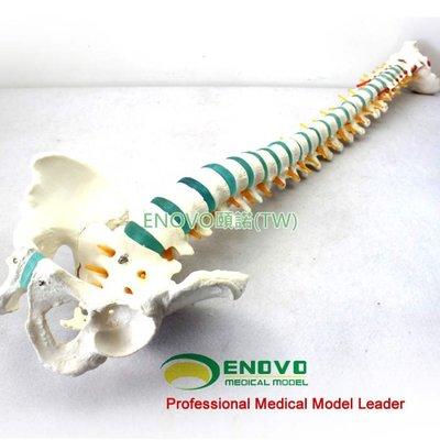 (ENOVO-239) 醫學1:1人體脊柱模型脊椎腰椎頸椎胸椎正骨骨科整骨模型