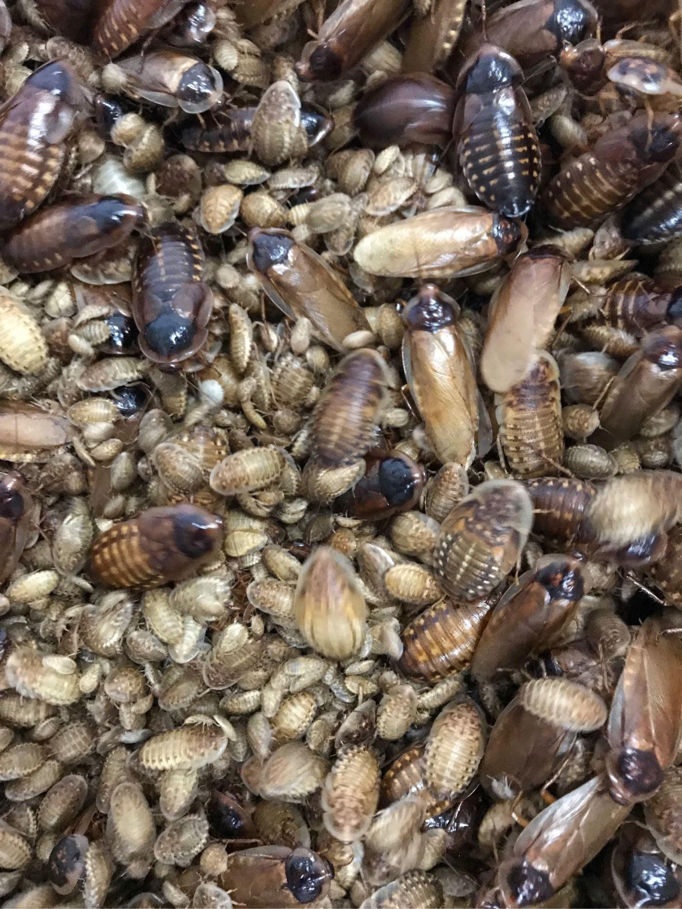 限時特價杜比亞、蟑螂、飼料昆蟲200隻200元(M)1cm~2cm