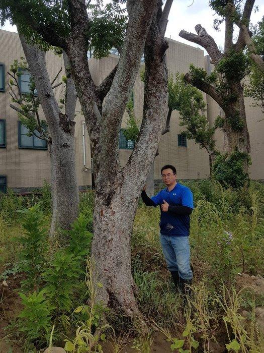 (青山園藝)  大型欒木  米徑30~500cm  高度約6~7米  多年優型老樹