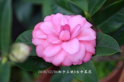 台中茶花- 松子三號 -(原棵茶花)-ㄅ22