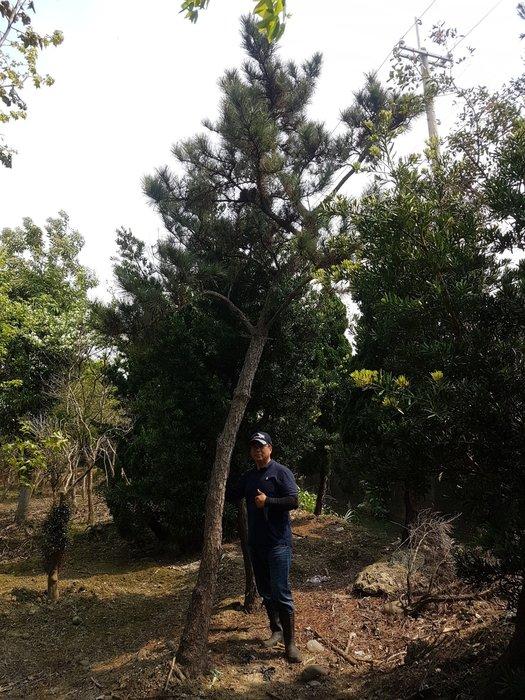(青山園藝) 高飄黑松 高度約6~7米  真柏桂花黃楓羅漢松七里香