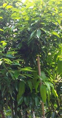 台灣土肉桂鮮葉 現採新鮮葉子 、桑葉 、綠薄荷(荷蘭薄荷)阡插枝條