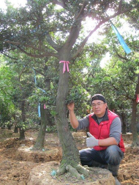 青山園藝  羅漢松頭俓20~30cm  高4~6米  黑松桂花真柏紅豆杉雪松龍柏