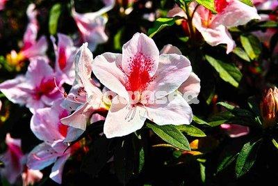 台灣圖片照片出租.花卉.杜鵑花.專業攝影師拍攝.想租多少價格.你決定專案.