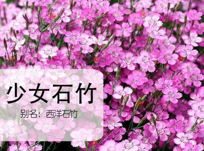 【小鮮肉肉】常夏石竹 少女石竹-火毬(混色) 種子10粒裝 香石竹瞿麥 陽台盆栽 庭院景觀種植