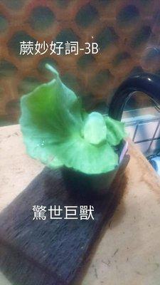 ☆蕨妙好詞 驚世巨獸鹿角蕨/4寸盆