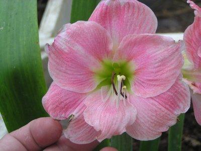 阿ken的園區~孤挺~單瓣~Blushing Bride~嬌羞新娘~近開花球~超值價:219元