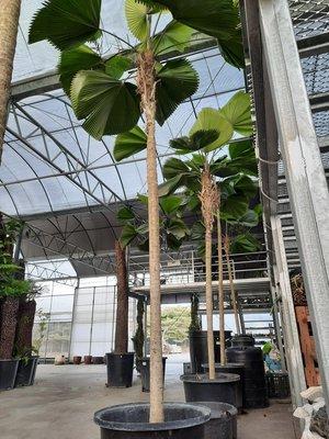【海灣園藝】超規格挑圓葉刺軸櫚(圓扇) 南洋風挑高室內植栽