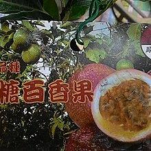 水果苗 ** 蜜糖百香果 ** 4.5吋盆/高20-60cm/香甜如蜜【花花世界玫瑰園】OvO