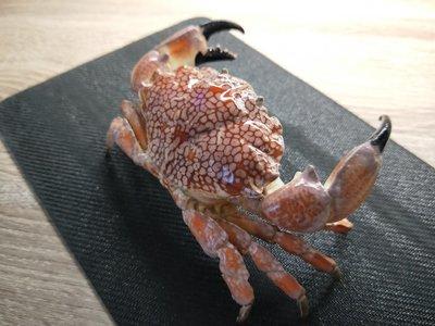 澎湖螃蟹博物館- 繡花脊熟若蟹標本