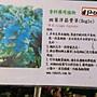 香草 ** 斑葉洋筋骨草 ** 5吋盆/高30cm左右 香料藥用植物【花花世界玫瑰園】OvO
