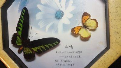 【準提坊】早期蝴蝶標本,知心的情誼,裝框