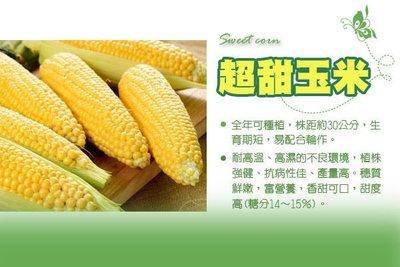 【振華育苗】黃金色超甜玉米種子 Sweet Corn F1一代交配品種, 甜度高可達15度!