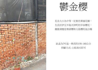心栽花坊-鬱金櫻/7吋/櫻花/櫻花品種/觀花植物/綠籬植物/售價450特價360