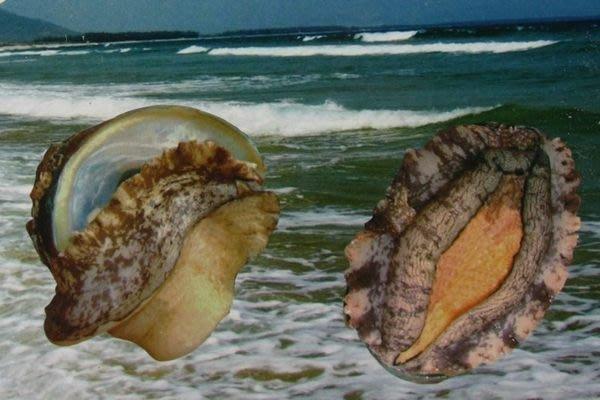 【萬象極品】帶殼鮑魚(又稱九孔鮑)(半熟凍)1顆 (規格:22顆/1000g)~ 教你作紅燒帶殼鮑魚 ~新鮮好滋味
