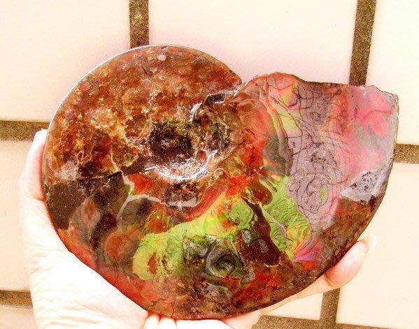 小風鈴~天然頂級七彩斑彩螺化石擺件(重812g)辦公居家風水螺! 值得珍藏
