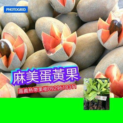 麻美蛋黃果【嘉義熱帶果樹】最好吃的Patin潘婷品種 麻美果【本賣場滿5棵免運】