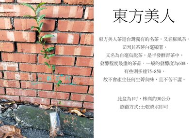心栽花坊-東方美人/膨風茶/白毫烏龍/茶葉/售價40特價35