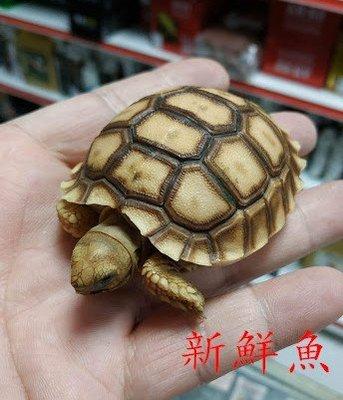 限自取~新鮮魚水族館~實體店面 烏龜 蘇卡達 象龜 甲殼長約6公分上下